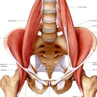 En super vigtig muskel – hoftebøjeren – iliopsoas musklen